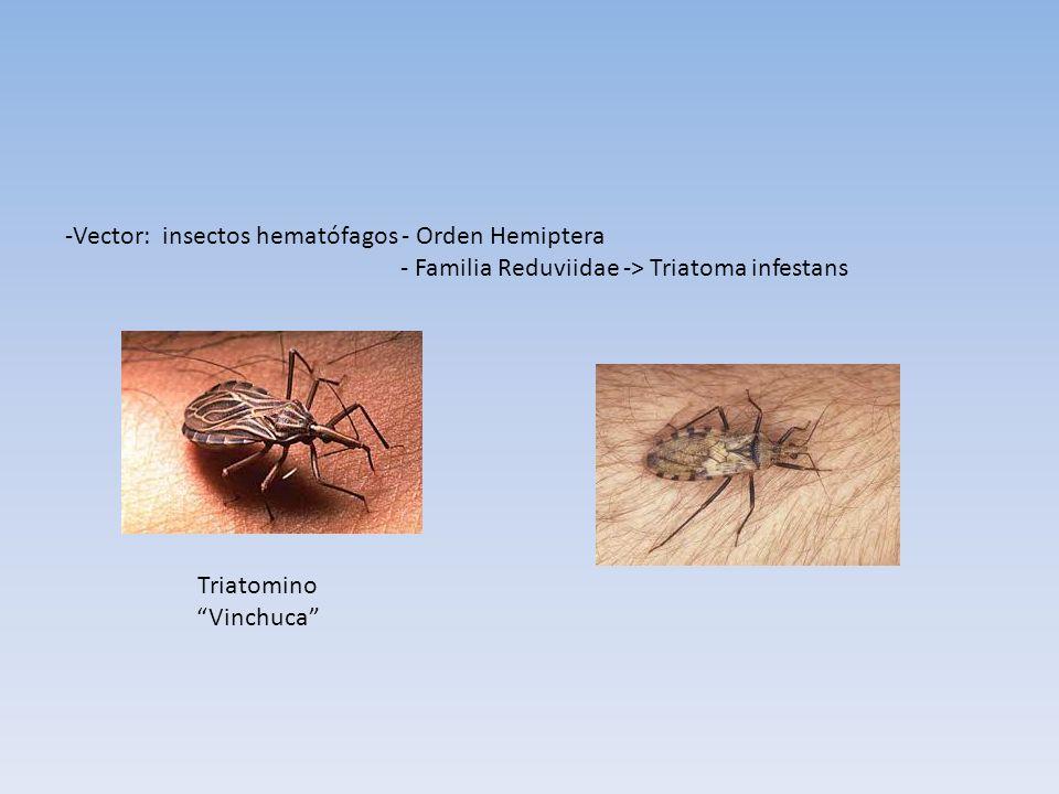 -Vector: insectos hematófagos - Orden Hemiptera - Familia Reduviidae -> Triatoma infestans Triatomino Vinchuca