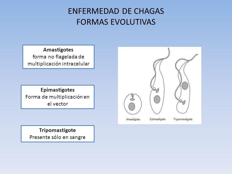 ENFERMEDAD DE CHAGAS FORMAS EVOLUTIVAS Amastigotes forma no flagelada de multiplicación intracelular Epimastigotes Forma de multiplicación en el vecto