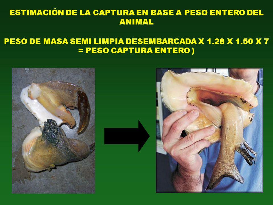 ESTIMACIÓN DE LA CAPTURA EN BASE A PESO ENTERO DEL ANIMAL PESO DE MASA SEMI LIMPIA DESEMBARCADA X 1.28 X 1.50 X 7 = PESO CAPTURA ENTERO )