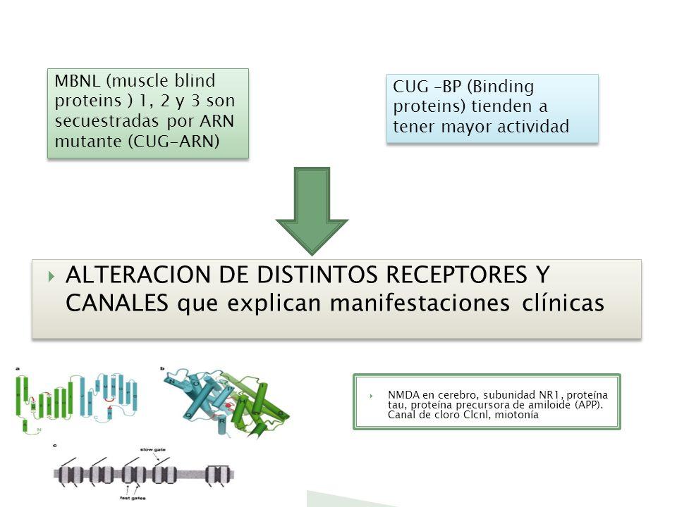 ALTERACION DE DISTINTOS RECEPTORES Y CANALES que explican manifestaciones clínicas MBNL (muscle blind proteins ) 1, 2 y 3 son secuestradas por ARN mut