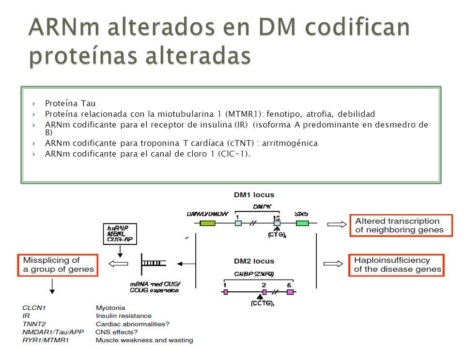 Proteína Tau Proteína relacionada con la miotubularina 1 (MTMR1): fenotipo, atrofia, debilidad ARNm codificante para el receptor de insulina (IR) (iso