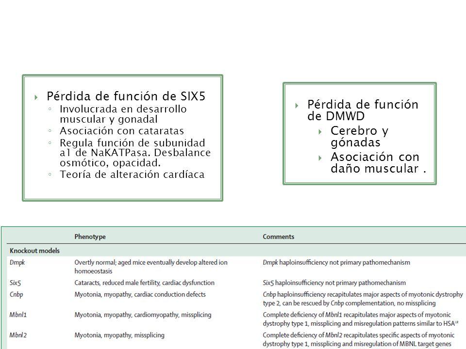Pérdida de función de SIX5 Involucrada en desarrollo muscular y gonadal Asociación con cataratas Regula función de subunidad a1 de NaKATPasa. Desbalan