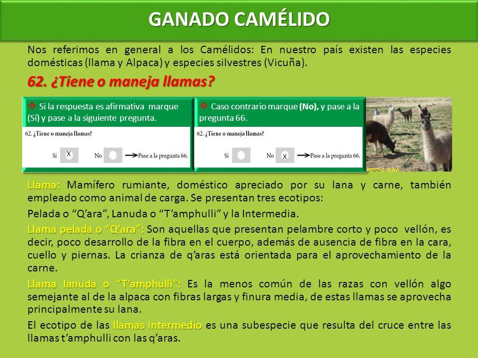 GANADO CAMÉLIDO Nos referimos en general a los Camélidos: En nuestro país existen las especies domésticas (llama y Alpaca) y especies silvestres (Vicuña).