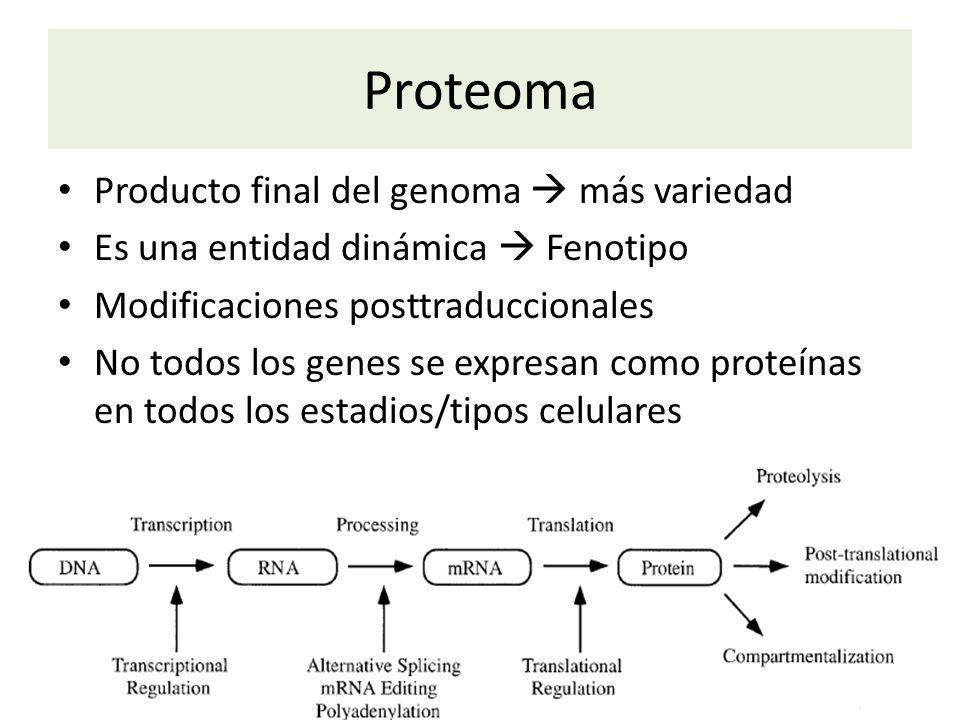 Proteoma Producto final del genoma más variedad Es una entidad dinámica Fenotipo Modificaciones posttraduccionales No todos los genes se expresan como