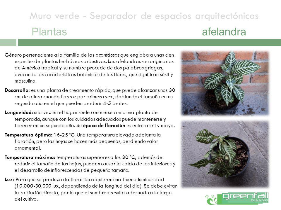 Muro verde - Separador de espacios arquitectónicos Plantasafelandra Género perteneciente a la familia de las acantáceas que engloba a unas cien especi