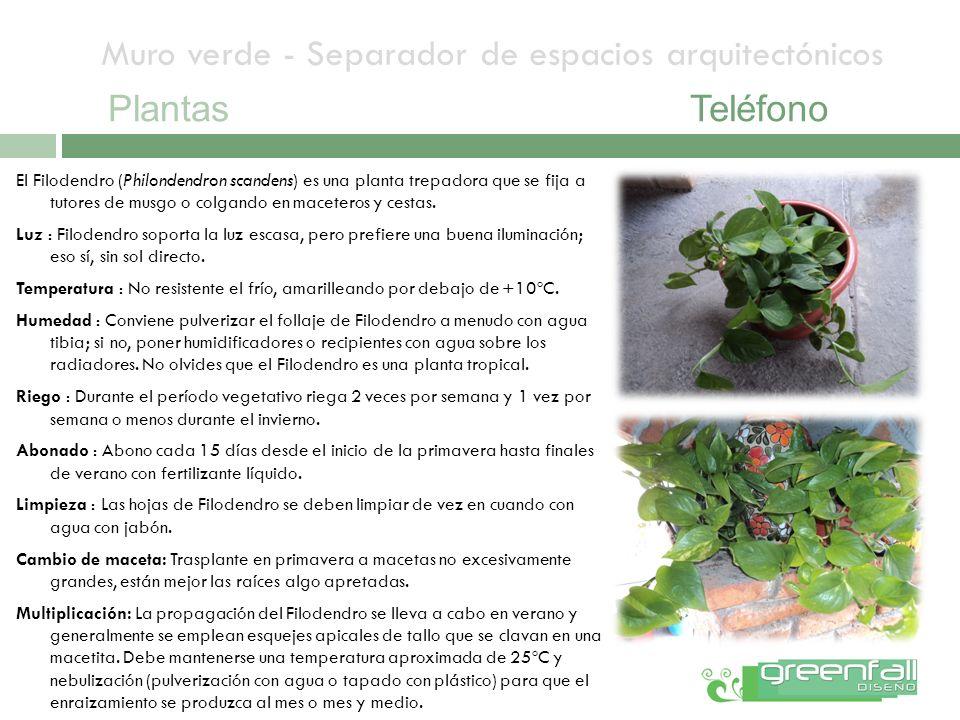 Muro verde - Separador de espacios arquitectónicos PlantasTeléfono El Filodendro (Philondendron scandens) es una planta trepadora que se fija a tutore