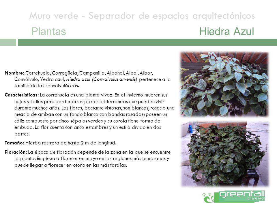 Muro verde - Separador de espacios arquitectónicos PlantasHiedra Azul Nombre: Correhuela, Corregüela, Campanilla, Albohol, Albol, Albor, Convólvulo, Y