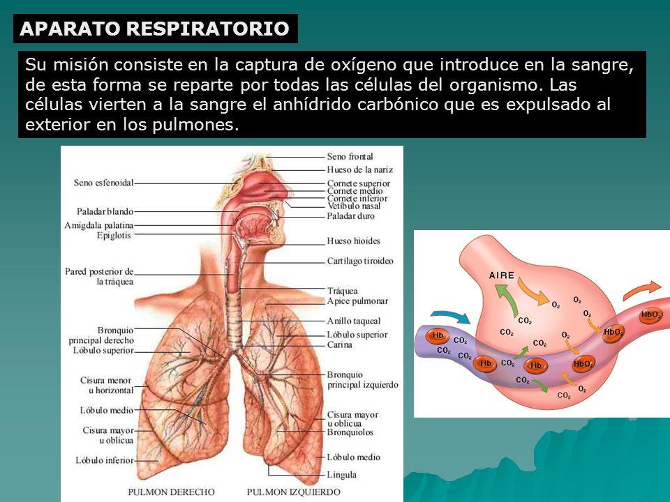 APARATO RESPIRATORIO Su misión consiste en la captura de oxígeno que introduce en la sangre, de esta forma se reparte por todas las células del organi