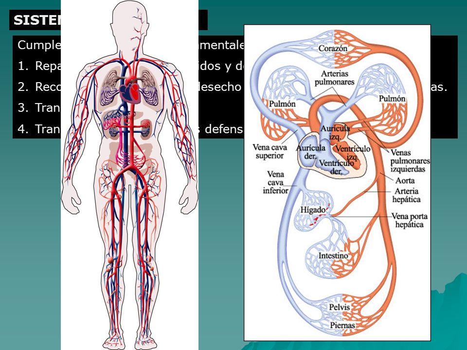 SISTEMA CIRCULATORIO Cumple cuatro funciones fundamentales: 1.Reparto de nutrientes digeridos y de oxígeno a todas las células. 2.Recogida de sustanci
