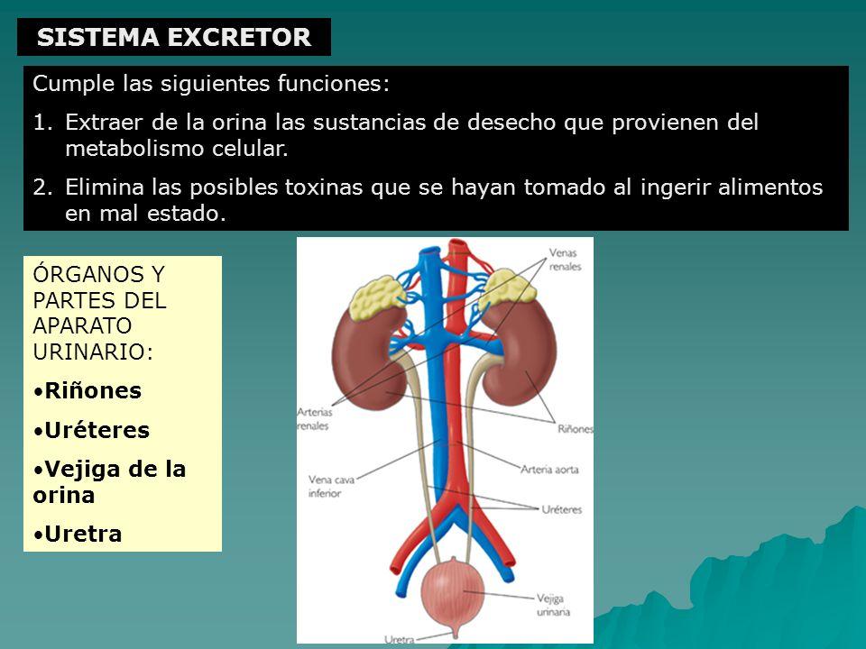 SISTEMA EXCRETOR Cumple las siguientes funciones: 1.Extraer de la orina las sustancias de desecho que provienen del metabolismo celular. 2.Elimina las