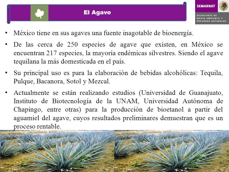 El Agave México tiene en sus agaves una fuente inagotable de bioenergía. De las cerca de 250 especies de agave que existen, en México se encuentran 21