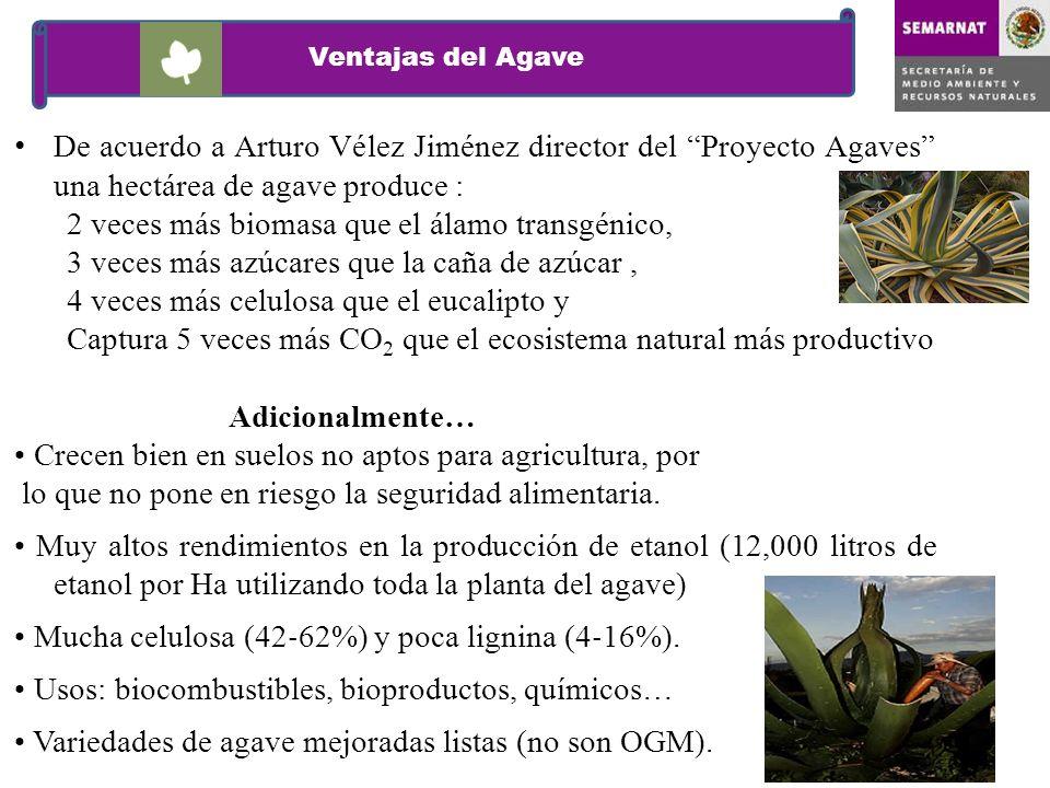 Ventajas del Agave De acuerdo a Arturo Vélez Jiménez director del Proyecto Agaves una hectárea de agave produce : 2 veces más biomasa que el álamo tra
