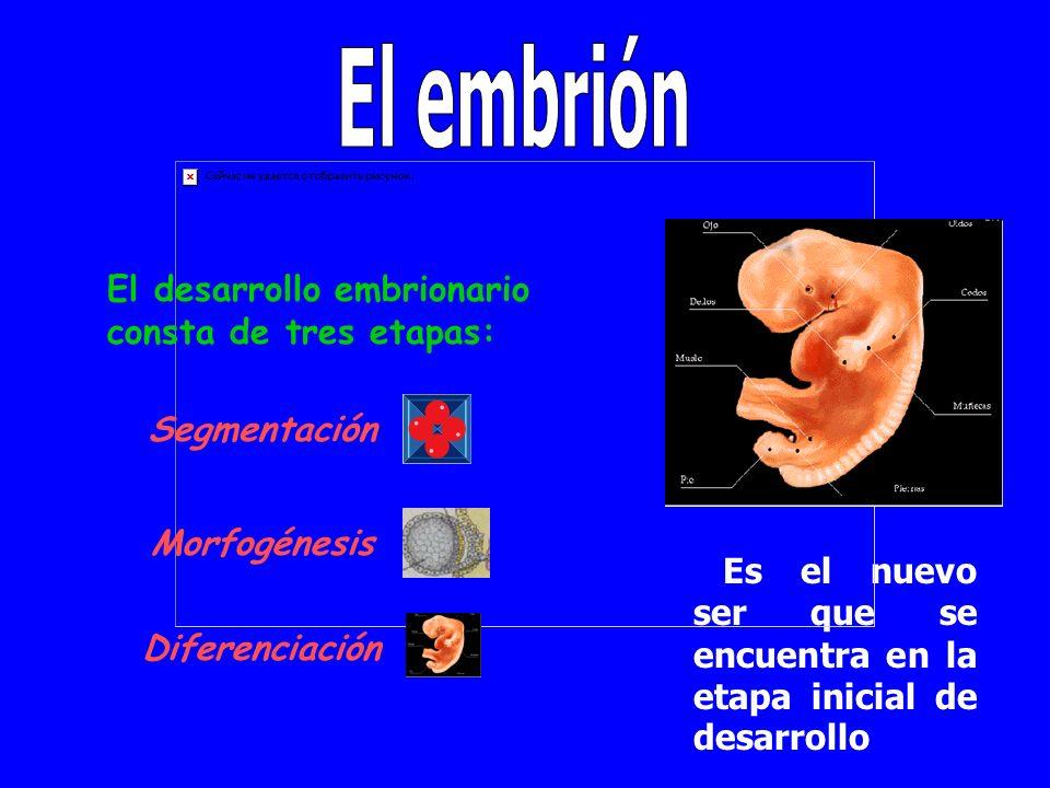 Segmentación Así se implanta el embrión en el útero materno.