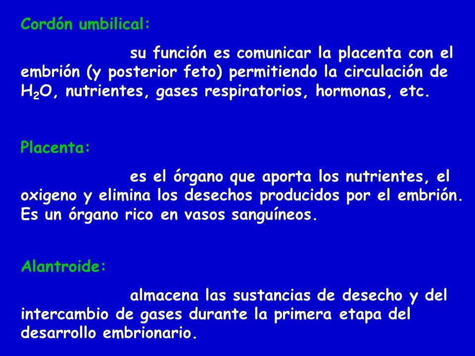 Cordón umbilical: su función es comunicar la placenta con el embrión (y posterior feto) permitiendo la circulación de H 2 O, nutrientes, gases respira