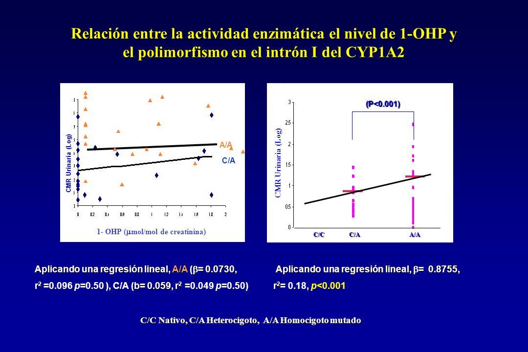 Relación entre la actividad enzimática el nivel de 1-OHP y el polimorfismo en el intrón I del CYP1A2 Aplicando una regresión lineal, A/A ( = 0.0730, r 2 b= 0.059, r 2 r 2 =0.096 p=0.50 ), C/A (b= 0.059, r 2 =0.049 p=0.50) Aplicando una regresión lineal, = 0.8755, Aplicando una regresión lineal, = 0.8755, r 2 r 2 = 0.18, p<0.001 C/C Nativo, C/A Heterocigoto, /A Homocigoto mutado C/C Nativo, C/A Heterocigoto, A/A Homocigoto mutado C/C C/A A/A (P<0.001) CMR Urinaria (Log) C/ A CMR Urinaria (Log) 1- OHP ( mol/mol de creatinina) A/A C/A