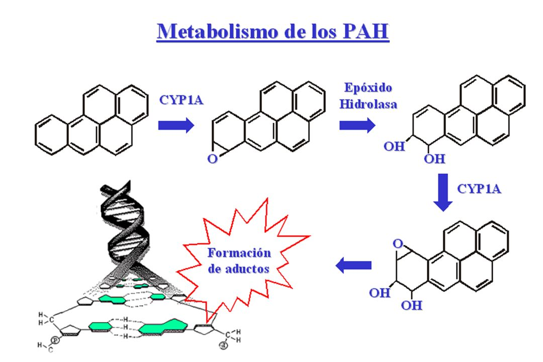 Biomarcadores a PAH Daño Cáncer EfectoTemprano Inducción de CYP1A2 Exposición BaseGenética Fenotipo Genotipo