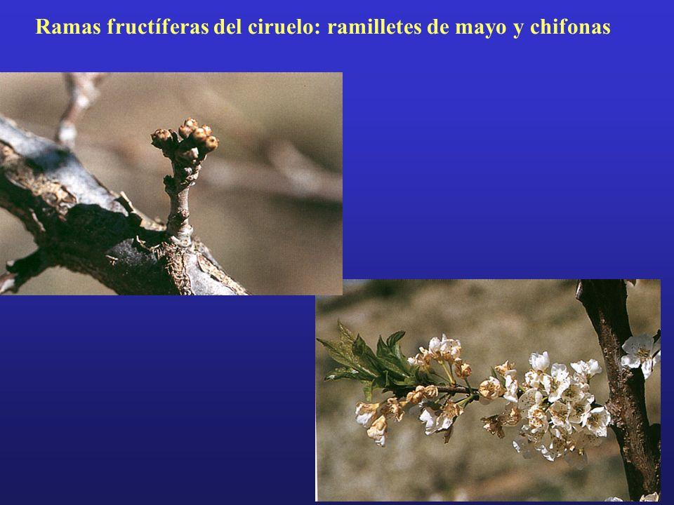 Ramas fructíferas del ciruelo: ramilletes de mayo y chifonas