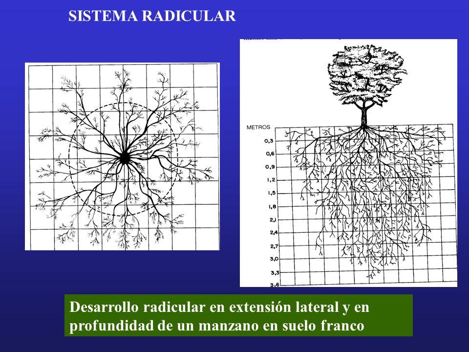 Desarrollo radicular en extensión lateral y en profundidad de un manzano en suelo franco SISTEMA RADICULAR