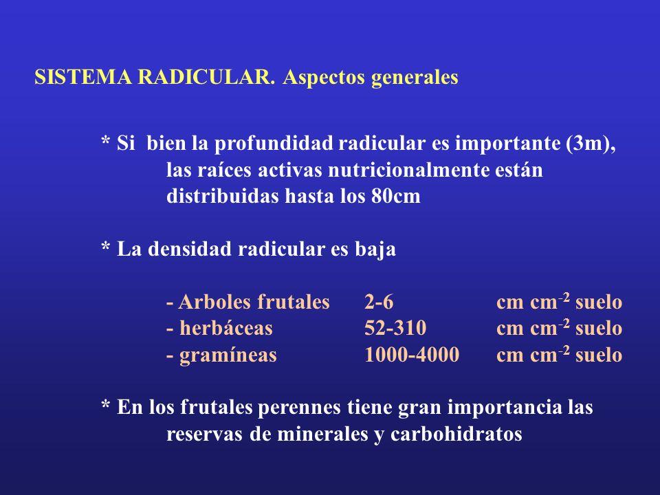 SISTEMA RADICULAR. Aspectos generales * Si bien la profundidad radicular es importante (3m), las raíces activas nutricionalmente están distribuidas ha