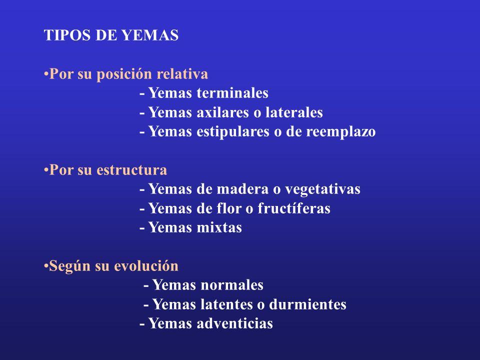 TIPOS DE YEMAS Por su posición relativa - Yemas terminales - Yemas axilares o laterales - Yemas estipulares o de reemplazo Por su estructura - Yemas d