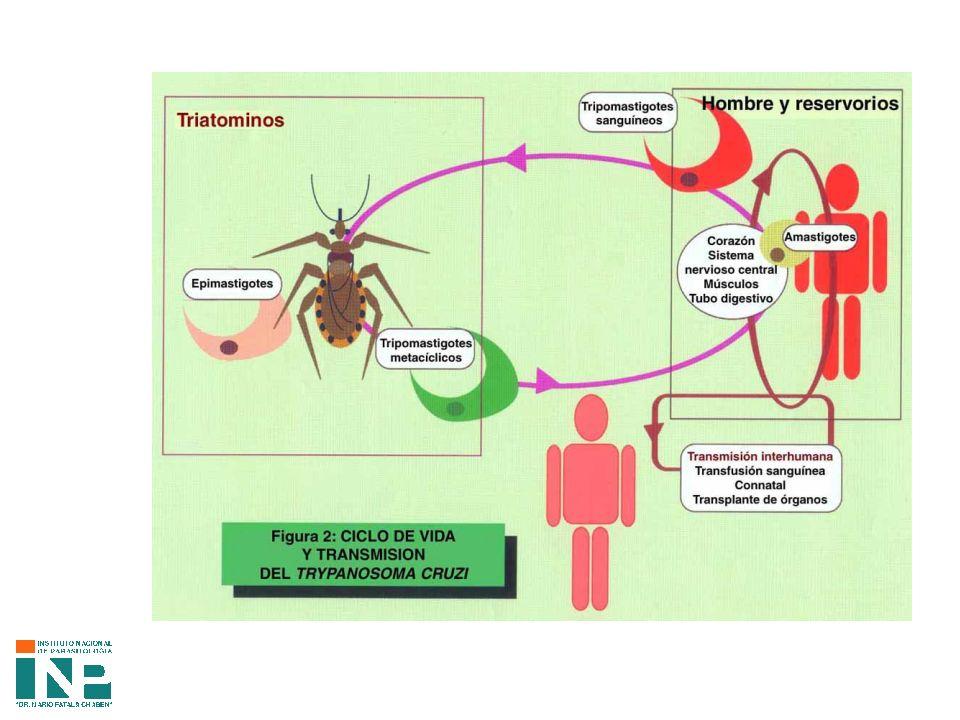CARGA SOCIAL América Latina: 16 a 18 millones de infectados Cono Sur: 6.5 millones de infectados Mortalidad por año: 23.000 (Banco Mundial) 43.000 (OMS) AÑOS DE VIDA PERDIDOS POR INCAPACIDAD (AVADS) MAYOR CARGA DE ENFERMEDAD Respiratorias Agudas Diarreas Sida Enfermedad de Chagas