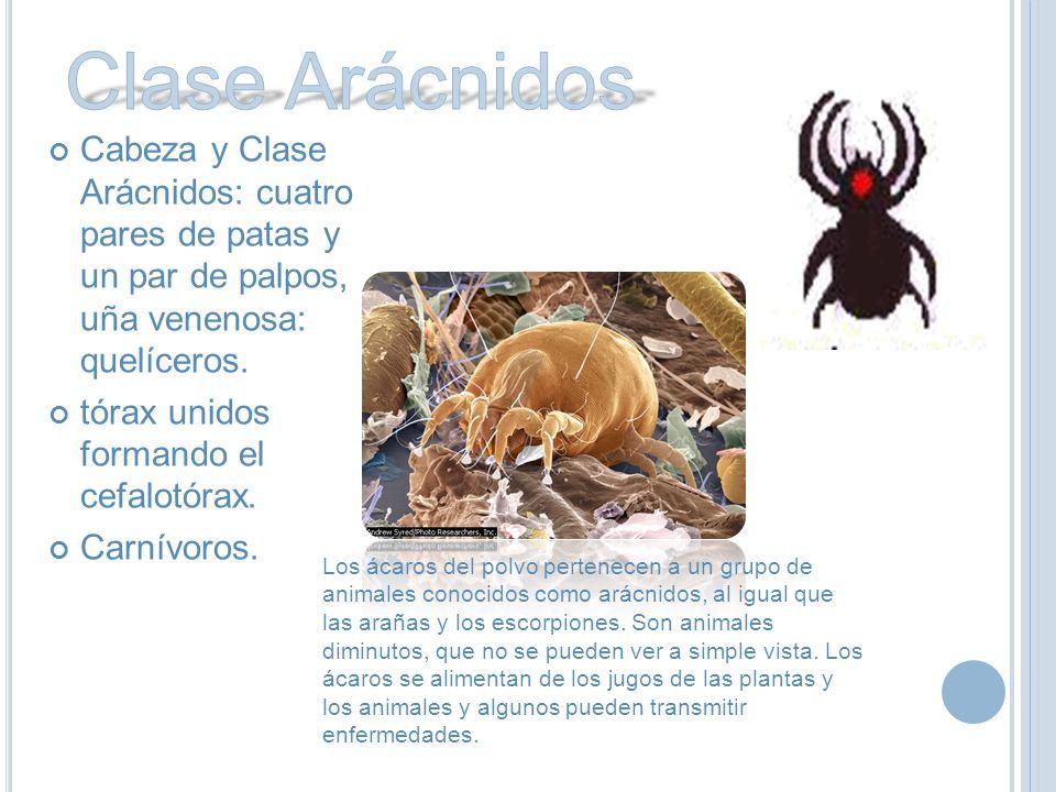 Cabeza y Clase Arácnidos: cuatro pares de patas y un par de palpos, uña venenosa: quelíceros.