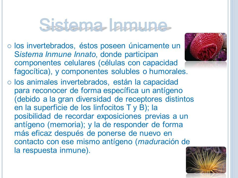los invertebrados, éstos poseen únicamente un Sistema Inmune Innato, donde participan componentes celulares (células con capacidad fagocítica), y componentes solubles o humorales.