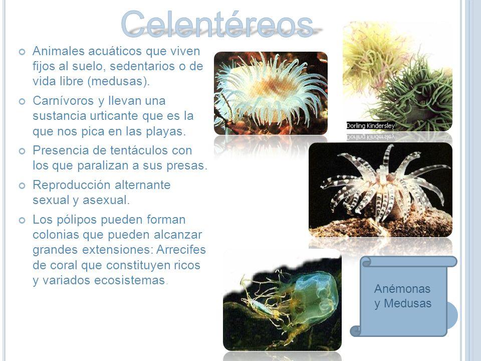 Animales acuáticos que viven fijos al suelo, sedentarios o de vida libre (medusas).