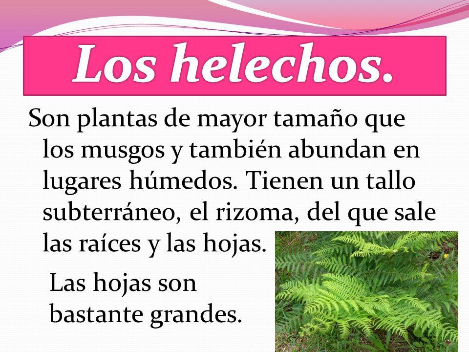 Son plantas de mayor tamaño que los musgos y también abundan en lugares húmedos.