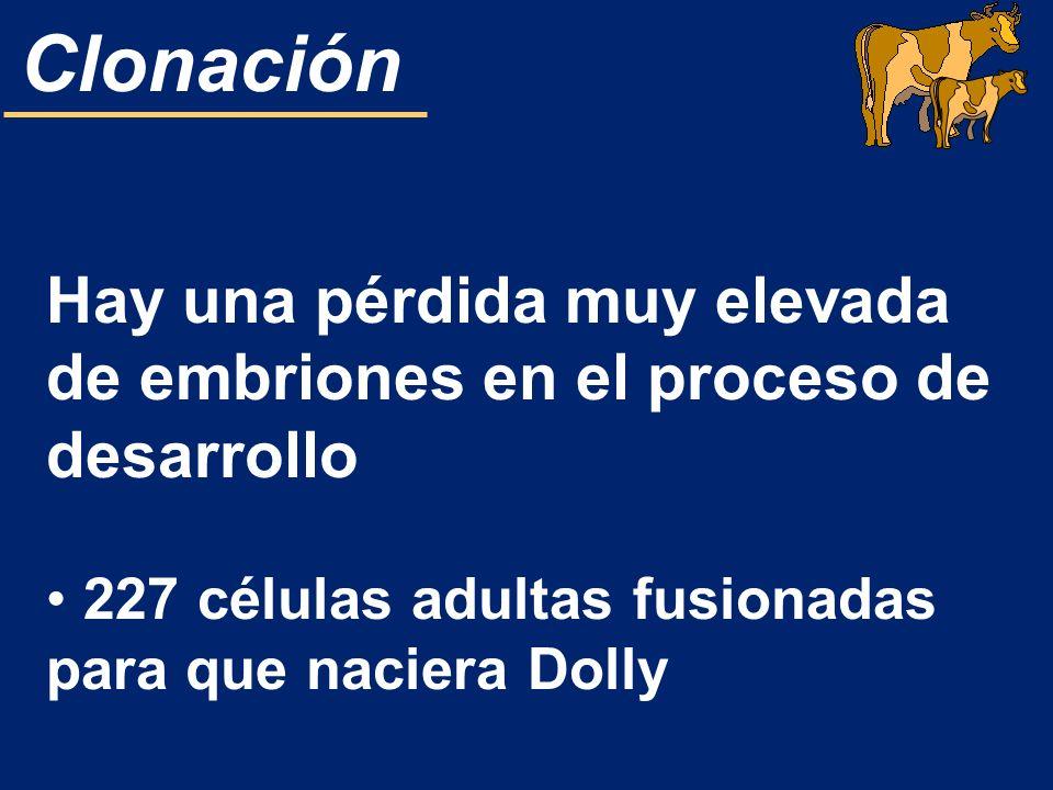 Clonación Hay una pérdida muy elevada de embriones en el proceso de desarrollo 227 células adultas fusionadas para que naciera Dolly