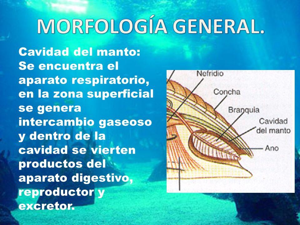 Cavidad del manto: Se encuentra el aparato respiratorio, en la zona superficial se genera intercambio gaseoso y dentro de la cavidad se vierten productos del aparato digestivo, reproductor y excretor.