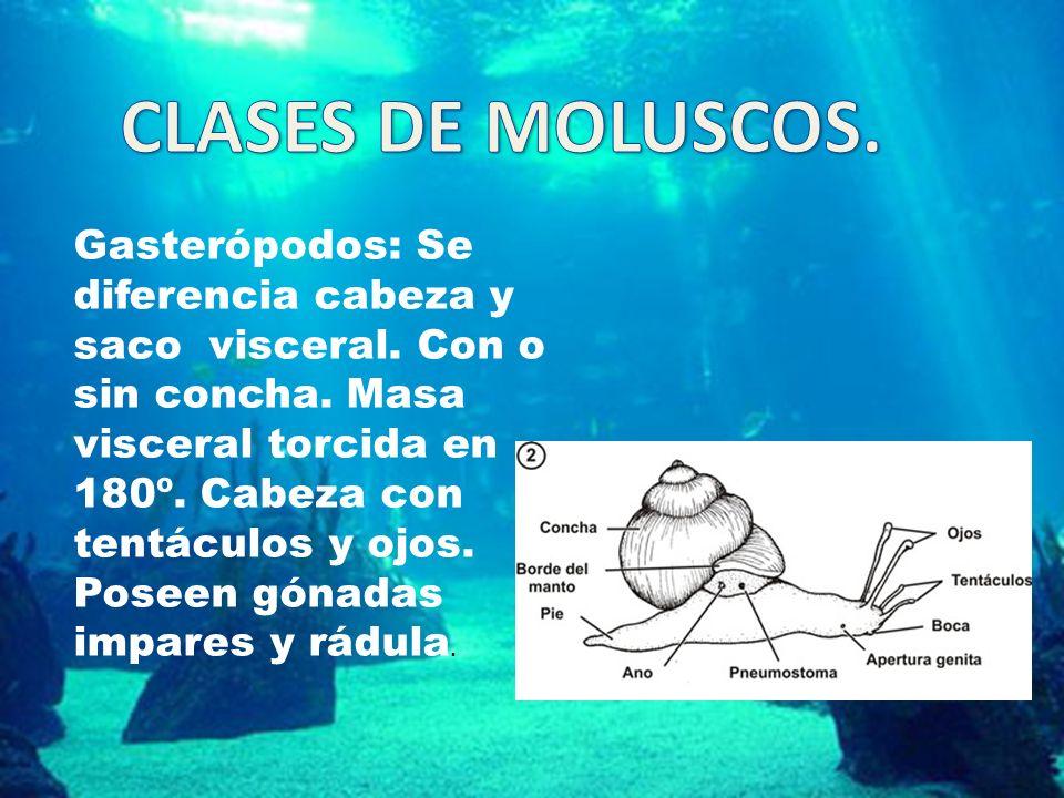 Gasterópodos: Se diferencia cabeza y saco visceral. Con o sin concha. Masa visceral torcida en 180º. Cabeza con tentáculos y ojos. Poseen gónadas impa