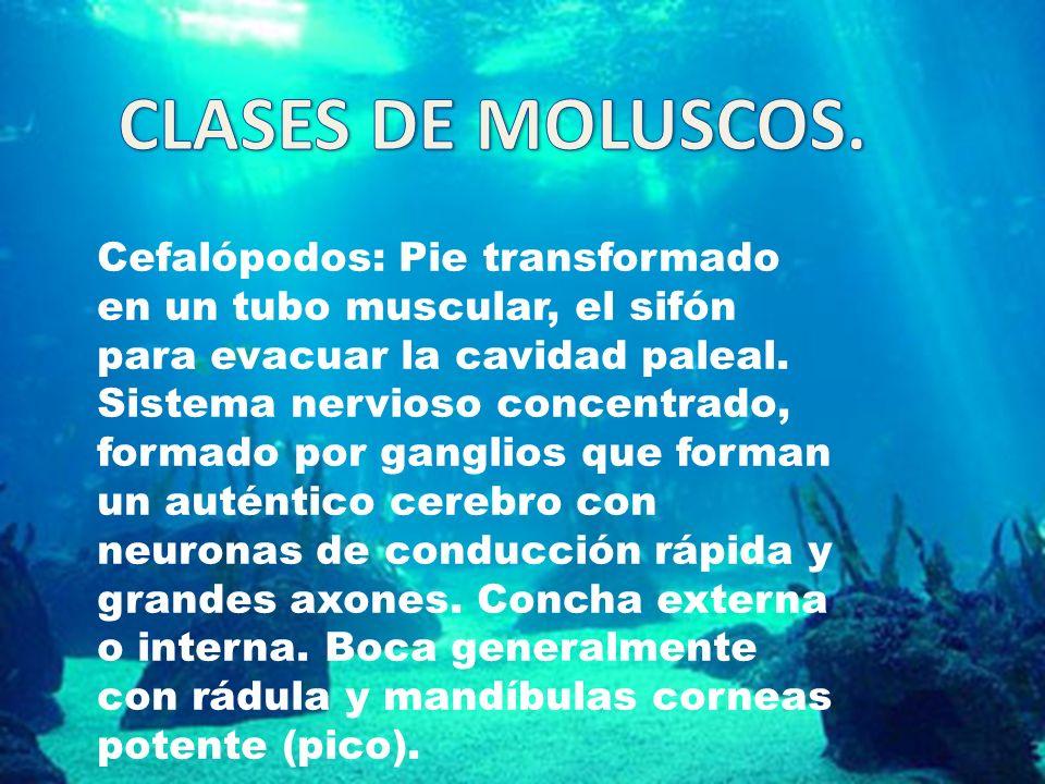 Cefalópodos: Pie transformado en un tubo muscular, el sifón para evacuar la cavidad paleal. Sistema nervioso concentrado, formado por ganglios que for