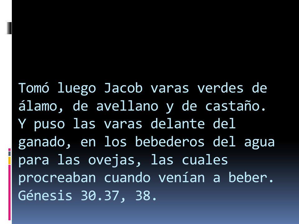 Tomó luego Jacob varas verdes de álamo, de avellano y de castaño. Y puso las varas delante del ganado, en los bebederos del agua para las ovejas, las