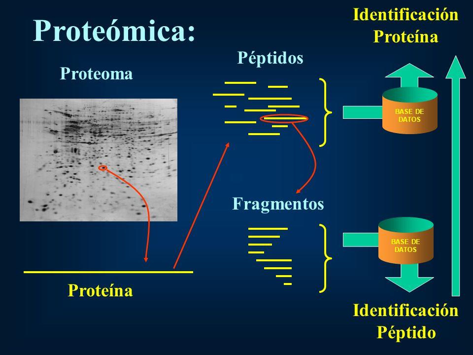 Proteoma Proteína Péptidos Fragmentos BASE DE DATOS BASE DE DATOS Identificación Proteína Identificación Péptido Proteómica: