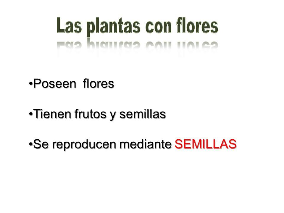 Poseen floresPoseen flores Tienen frutos y semillasTienen frutos y semillas Se reproducen mediante SEMILLASSe reproducen mediante SEMILLAS