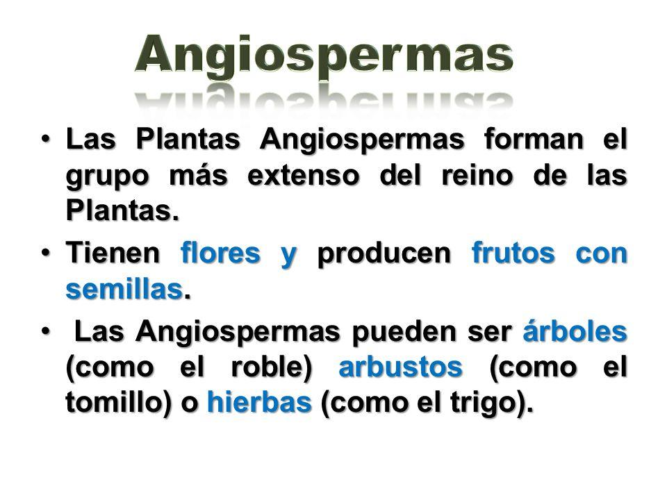 Las Plantas Angiospermas forman el grupo más extenso del reino de las Plantas.Las Plantas Angiospermas forman el grupo más extenso del reino de las Pl