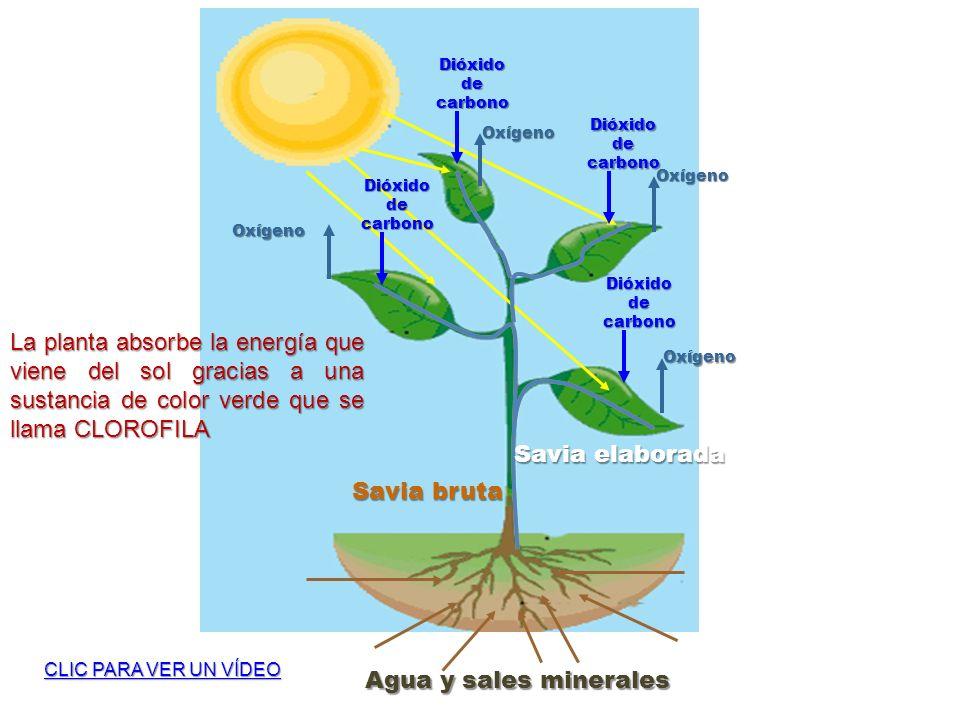 Agua y sales minerales Savia bruta Savia elaborada Dióxido de carbono Oxígeno Oxígeno Oxígeno Oxígeno La planta absorbe la energía que viene del sol g