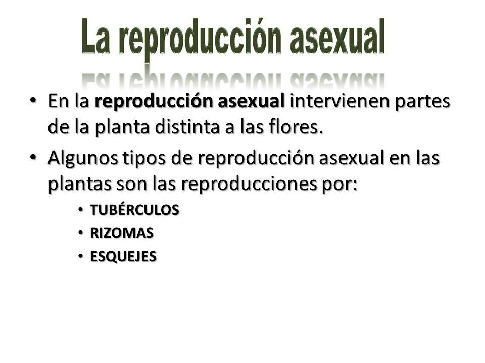 En la reproducción asexual intervienen partes de la planta distinta a las flores. En la reproducción asexual intervienen partes de la planta distinta