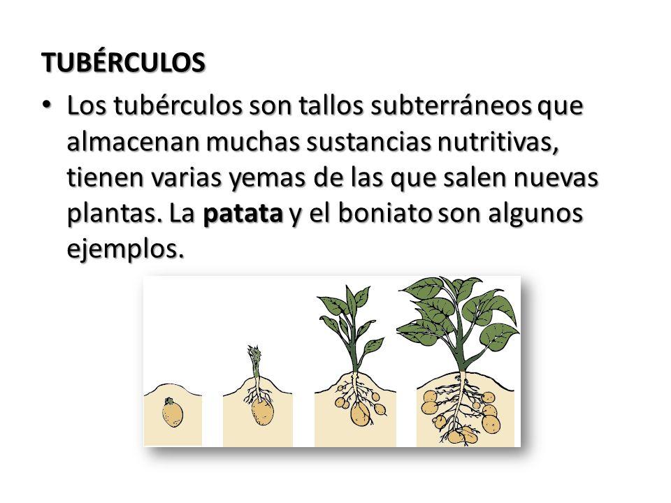 TUBÉRCULOS Los tubérculos son tallos subterráneos que almacenan muchas sustancias nutritivas, tienen varias yemas de las que salen nuevas plantas. La