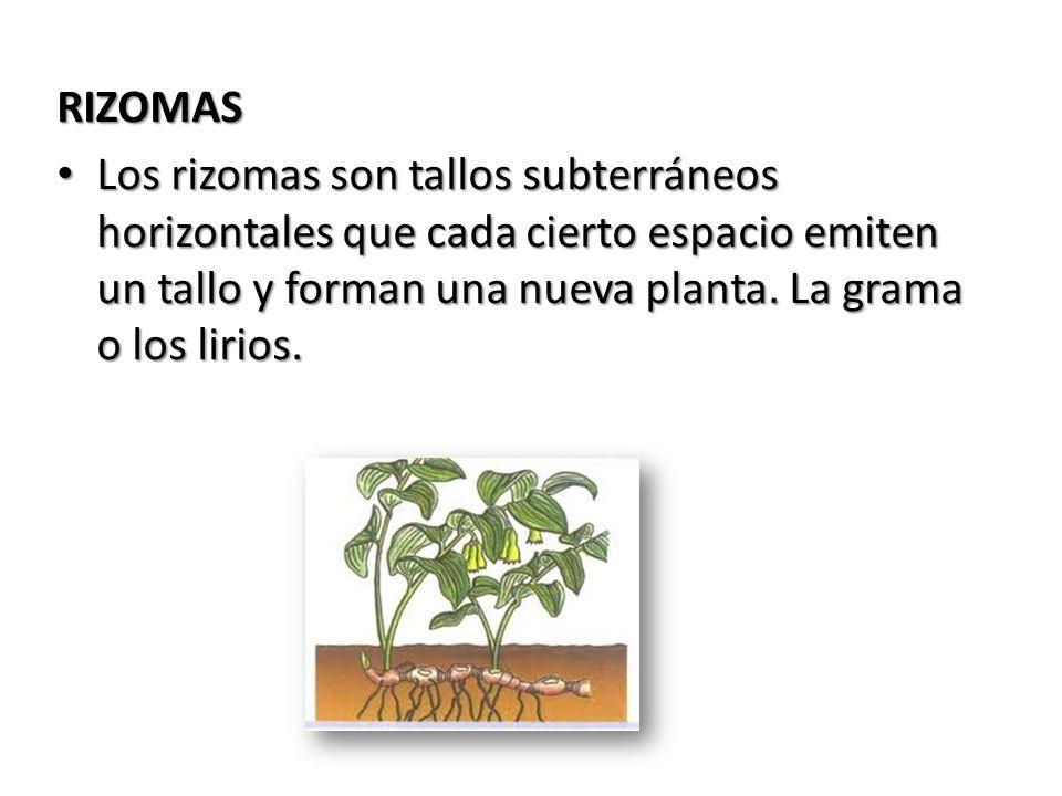 RIZOMAS Los rizomas son tallos subterráneos horizontales que cada cierto espacio emiten un tallo y forman una nueva planta. La grama o los lirios. Los