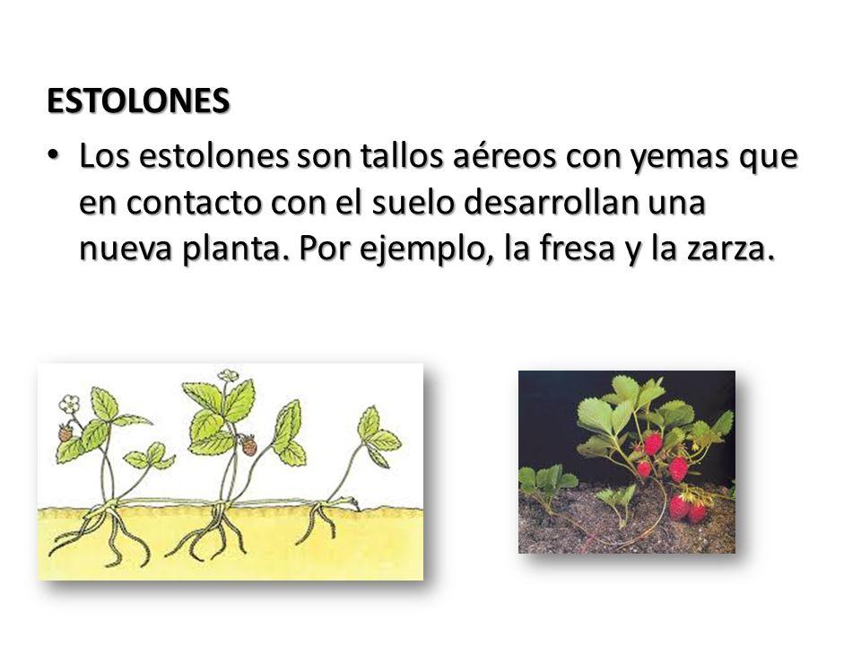 ESTOLONES Los estolones son tallos aéreos con yemas que en contacto con el suelo desarrollan una nueva planta. Por ejemplo, la fresa y la zarza. Los e