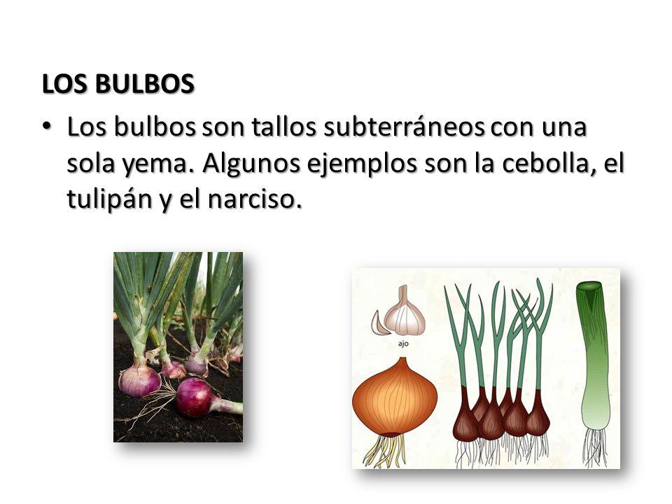 LOS BULBOS Los bulbos son tallos subterráneos con una sola yema. Algunos ejemplos son la cebolla, el tulipán y el narciso. Los bulbos son tallos subte