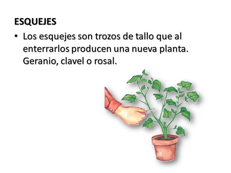 ESQUEJES Los esquejes son trozos de tallo que al enterrarlos producen una nueva planta. Geranio, clavel o rosal. Los esquejes son trozos de tallo que