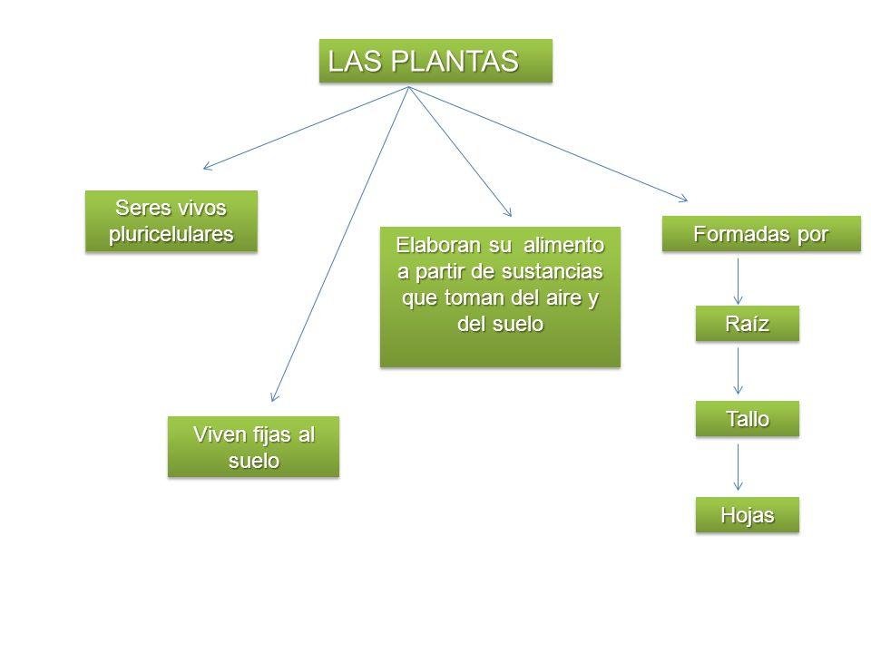 LAS PLANTAS Seres vivos pluricelulares Viven fijas al suelo Elaboran su alimento a partir de sustancias que toman del aire y del suelo Formadas por Ra