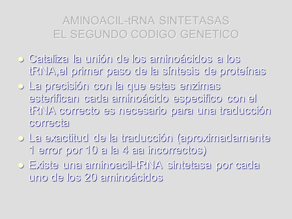 AMINOACIL-tRNA SINTETASAS EL SEGUNDO CODIGO GENETICO Cataliza la unión de los aminoácidos a los tRNA,el primer paso de la síntesis de proteínas Catali