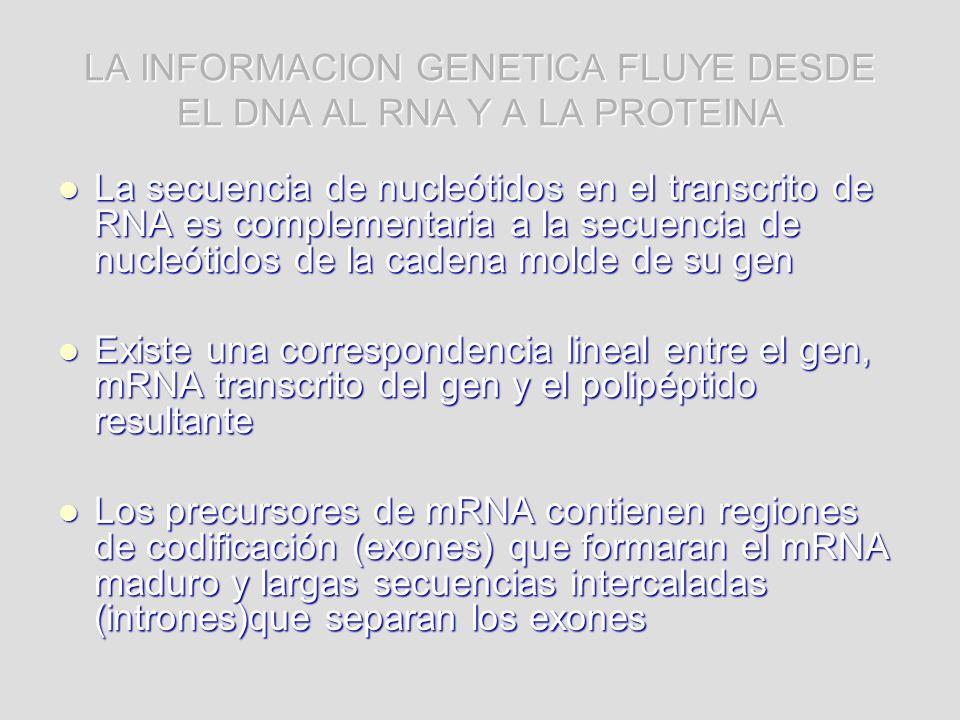 LA INFORMACION GENETICA FLUYE DESDE EL DNA AL RNA Y A LA PROTEINA La secuencia de nucleótidos en el transcrito de RNA es complementaria a la secuencia