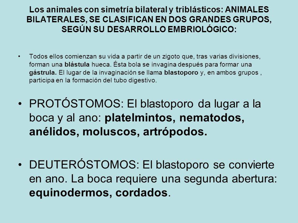 Los animales con simetría bilateral y triblásticos: ANIMALES BILATERALES, SE CLASIFICAN EN DOS GRANDES GRUPOS, SEGÚN SU DESARROLLO EMBRIOLÓGICO: Todos