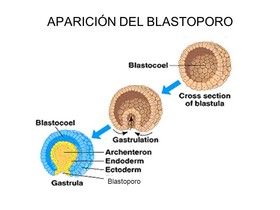 APARICIÓN DEL BLASTOPORO Blastoporo