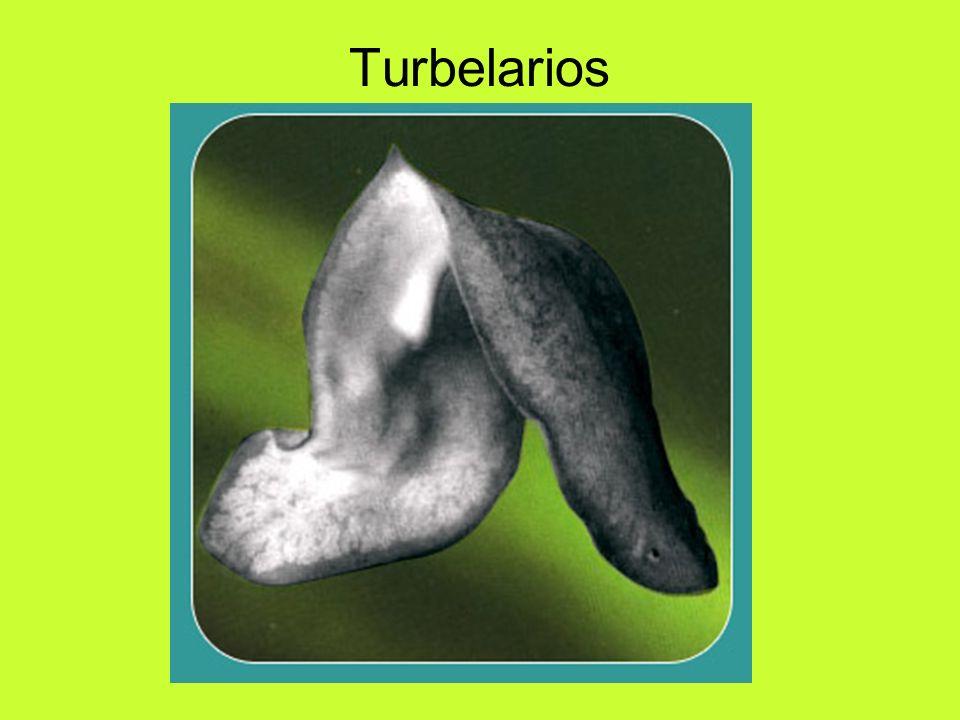 Turbelarios